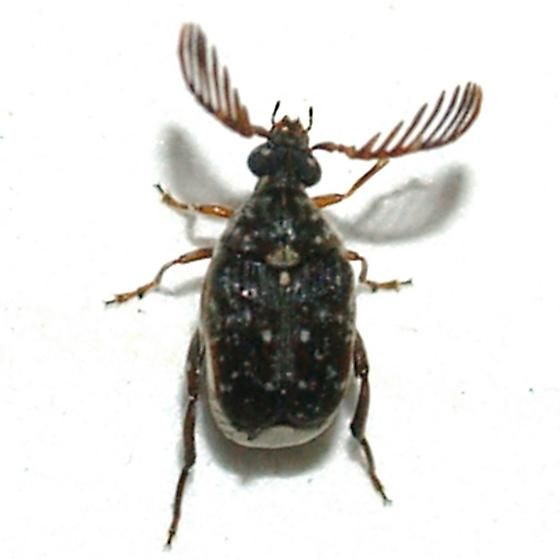 The little Bruchid that got away - Megacerus maculiventris - male
