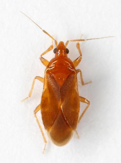 minute pirate bug - Lasiochilus pallidulus