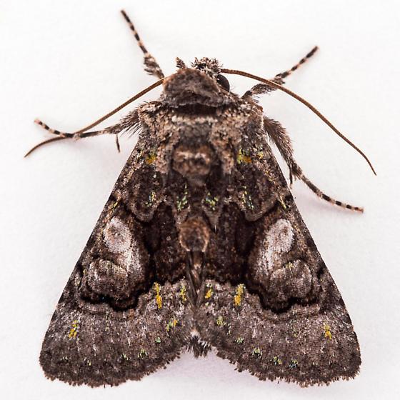 Behrensia conchiformis