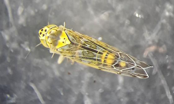 Ligurian leafhopper - Eupteryx decemnotata
