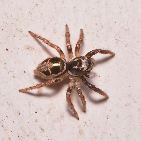 jumping spider, small - Anasaitis canosa