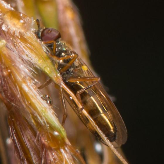 Melanostoma mellinum male? - Melanostoma mellinum - male
