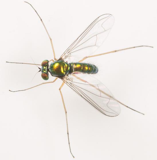Fly - Amblypsilopus scintillans - male
