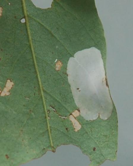 Blowing Rock Leaf miner on Robinia pseudoacacia BL32 2016 3 - Macrosaccus robiniella