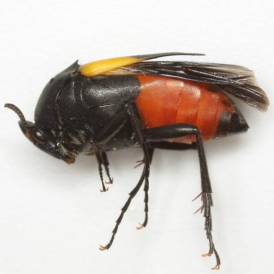 Macrosiagon flavipennis LeConte - Macrosiagon flavipennis - female