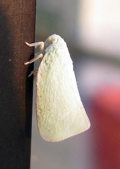 Little white hopper - Species Flatormenis proxima - Northern Flatid Planthopper - Flatormenis proxima