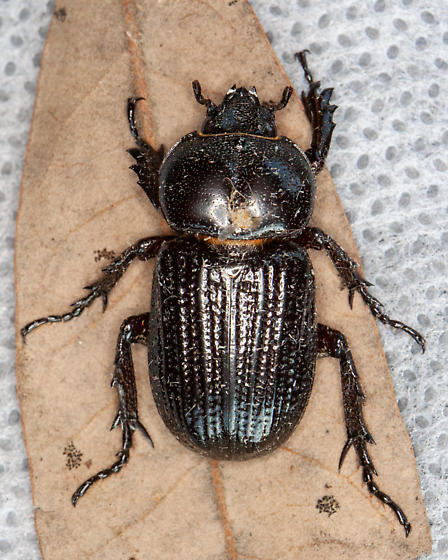 Phileurus truncatus - Tricerotops Beetle? - Phileurus valgus