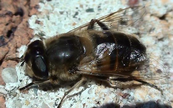 Syrphid Fly: Eristalis? - Eristalis tenax