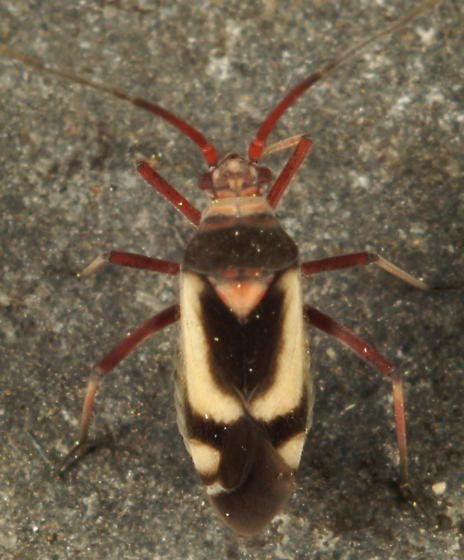 Unknown Miridae - Semium hirtum