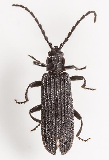 Beetle - Erotides sculptilis
