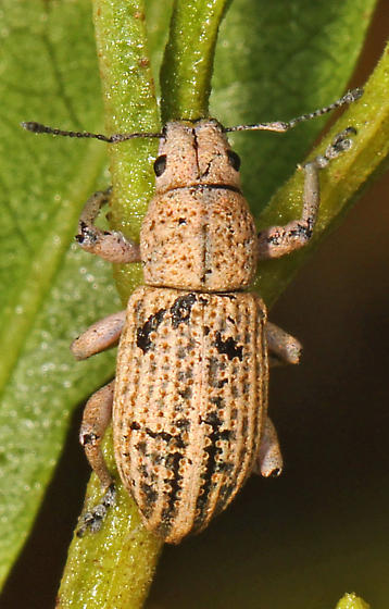 Weevil - Little Leaf Notcher? - Artipus floridanus
