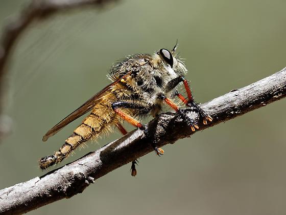 Medium size Robber Fly - Promachus sackeni