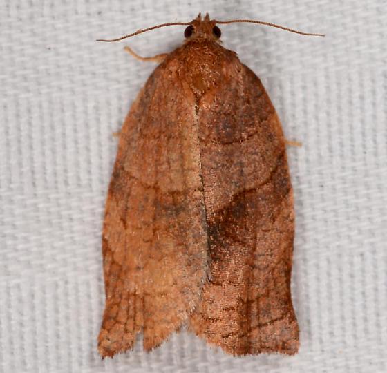 Choristoneura - Choristoneura rosaceana