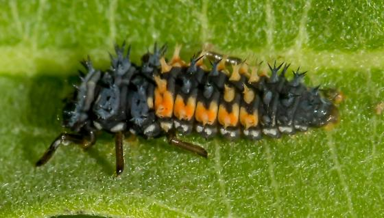black and orange insect perhaps milkweed aphid hunting related harmonia axyridis bugguide net. Black Bedroom Furniture Sets. Home Design Ideas