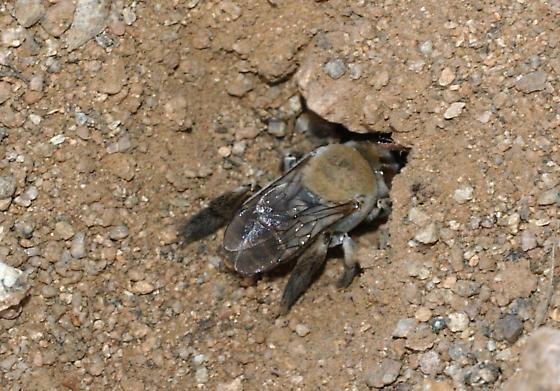 Digger Bee at work - Centris pallida
