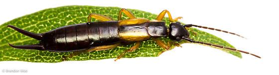 Doru aculeatum - female