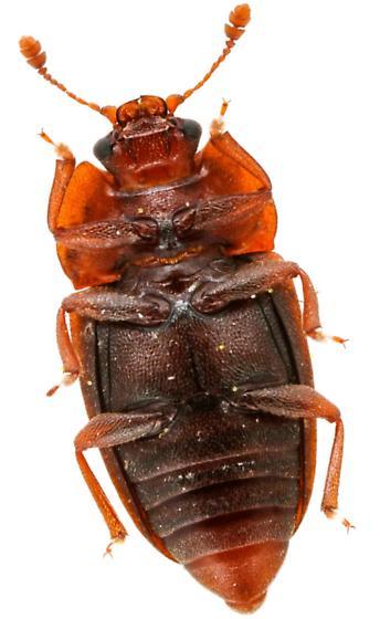 Sap-feeding Beetle - Epuraea rufa