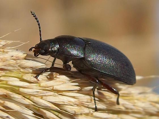 beetle - Lobometopon sp? - Lobometopon fusiforme