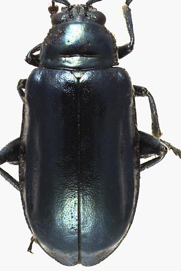 Leaf Beetle - Altica ambiens