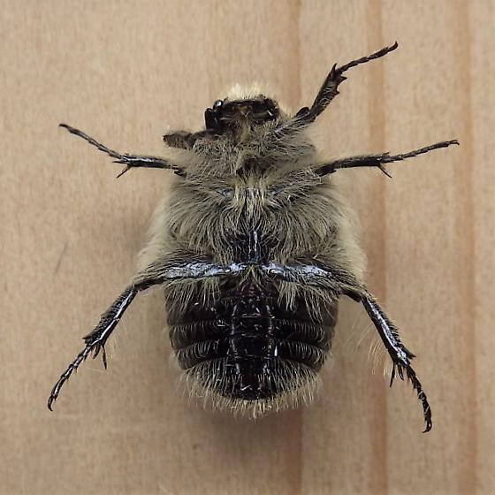 Scarabaeidae: Euphoria inda - Euphoria inda