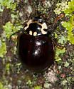 Fifteen-spotted Lady Beetle (Anatis labiculata)  - Anatis labiculata