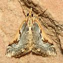 Moth - Loxostege albiceralis