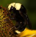 Bumblebee - Bombus vosnesenskii