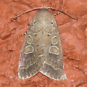 unknown moth - Himella fidelis