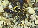 1284501 - Cerceris fumipennis