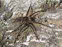 Large fishing spider - Dolomedes scriptus