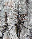 Wasp - Xorides albopictus - male