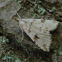 Moth - Udea washingtonalis