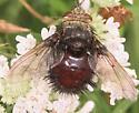 Fly - Juriniopsis adusta - female