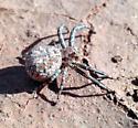 spider  - Xysticus