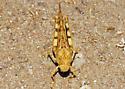 Dilley Grasshopper for ID - Dissosteira pictipennis - female