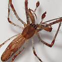 John Heinz Tinicum Tetragnatha - Tetragnatha guatemalensis - male