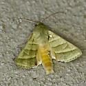 Greenish moth - Chloridea virescens