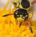Ancistrocerus - Pterocheilus - female
