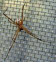 Western Black Widow - Latrodectus hesperus - male