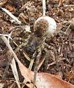 wolf spider with egg sac - Tigrosa aspersa - female