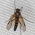 Fly - Rhagio - male