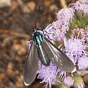 Moth? - Uranophora leucotelus