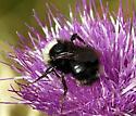 Bombus fervidus ??? - Bombus californicus - female
