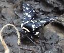 speckled moth - Thyris sepulchralis