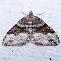 Xanthorhoe defensaria - female