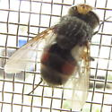 Plump hairy fly - Gonia