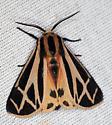 Tiger moth - Apantesis phalerata