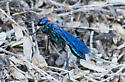 blue wasp - Chlorion - female