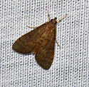 Unknown moth - Herpetogramma phaeopteralis
