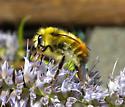 Yellow & orange bumblebee - Bombus flavifrons - male